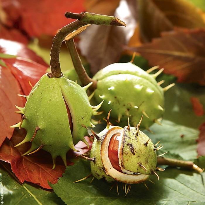 Foto de la planta castaño de indias