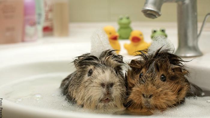 Foto de dos cobayos bañándose
