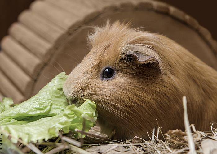 Foto de una cobaya comiendo lechuga
