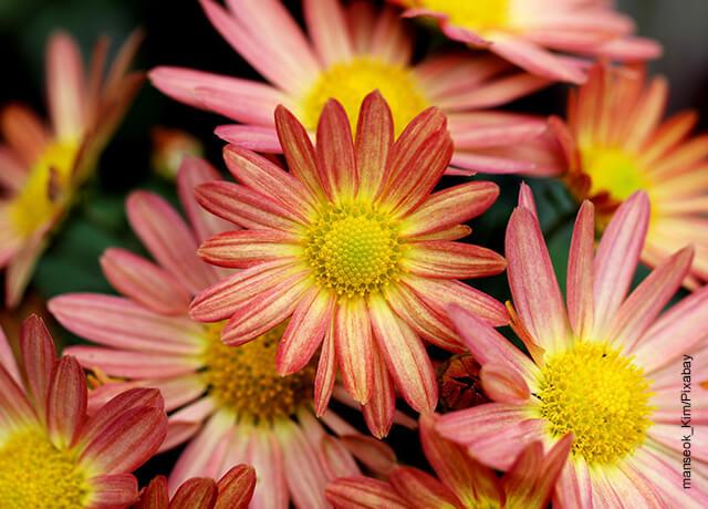 Foto de una planta de hojas rosadas