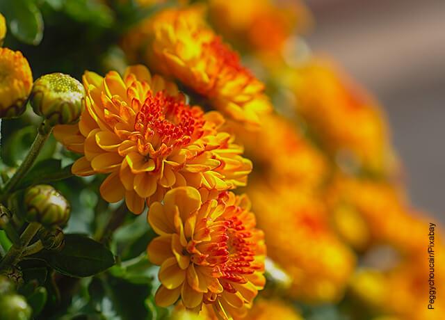 Foto de dos crisantemo y sus cuidados en casa