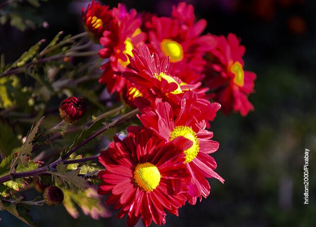 Foto de varias plantas de crisantemos