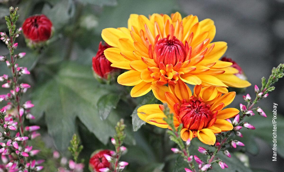 Foto de un crisantemo y los cuidados que debe tener