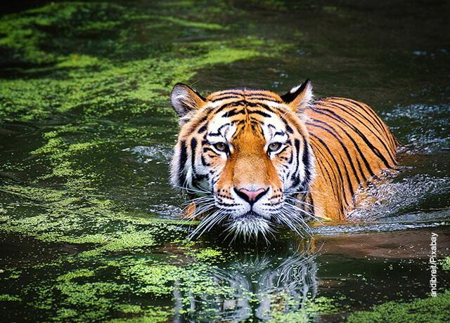 Foto de un tigre en el agua
