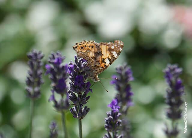 Foto de una mariposa sobre una flor morada