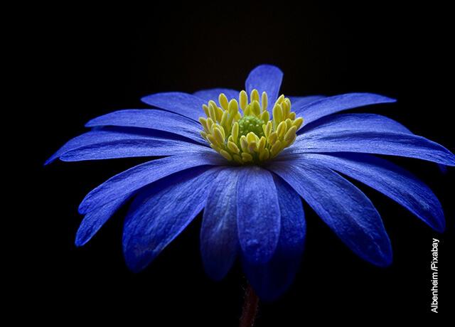 Foto de una flor azul de pétalos largos