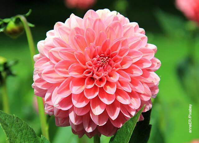 Foto de una flor dalia