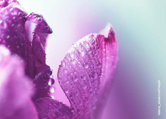 Foto de las hojas de una planta que muestran el cuidado de las violetas