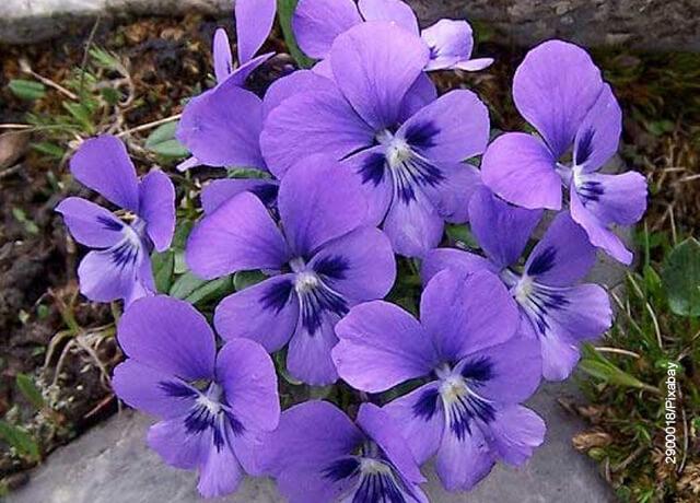 Foto de unas hojas de violeta