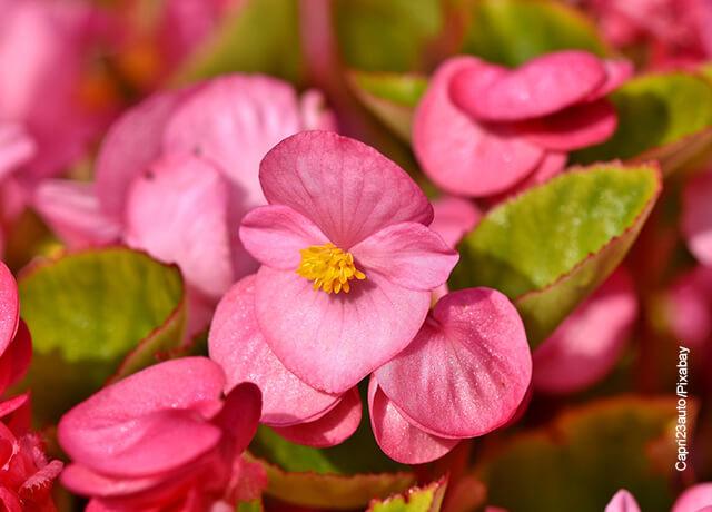 Foto de una begonia rosada