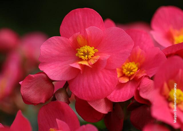 Foto de una flor rosa que ilustra los cuidados de la begonia