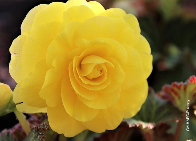 Foto de una begonia amarilla