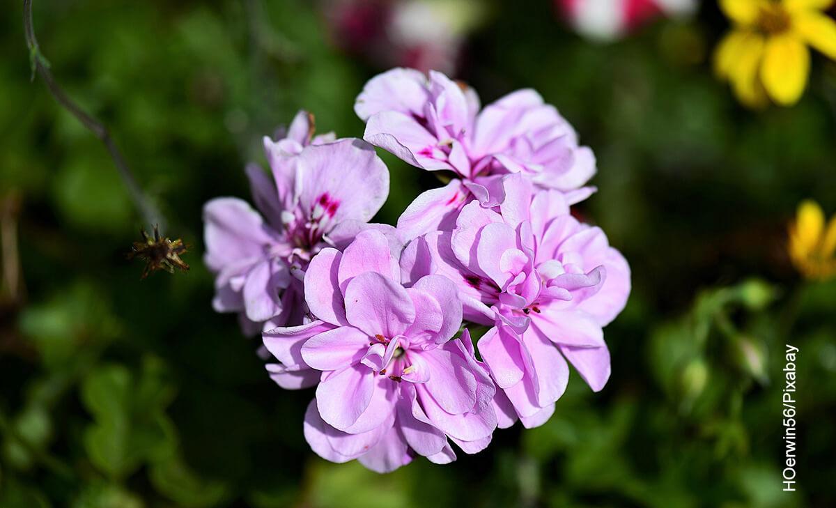 Foto de una flor violeta que muestra los cuidados de la begonia