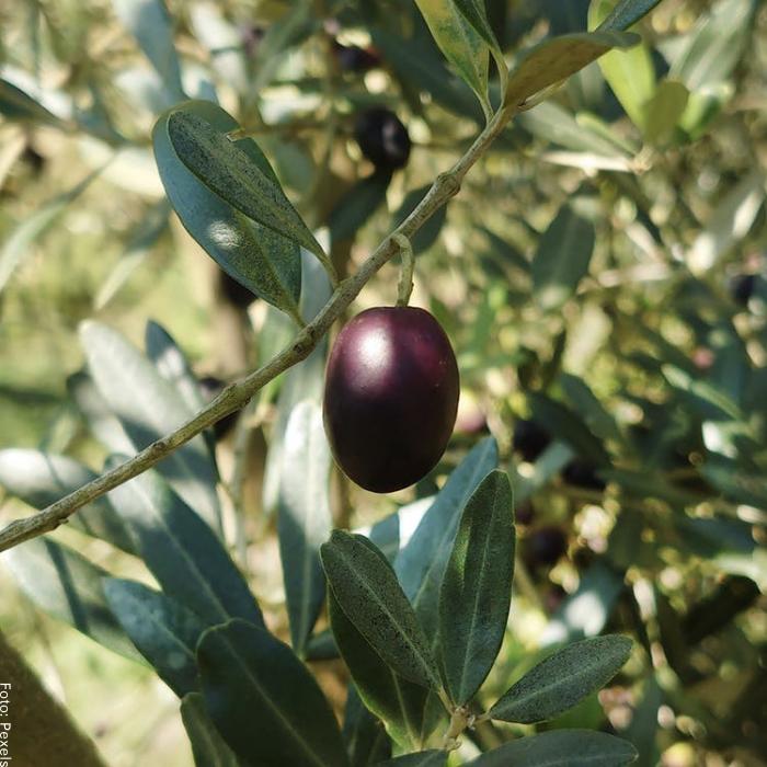 Foto de un fruto de olivo