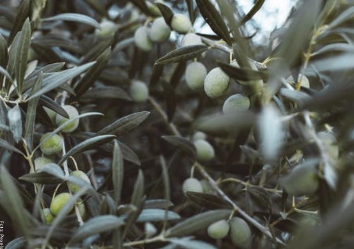 Foto de plantas de olivo para ilustrar cuidados