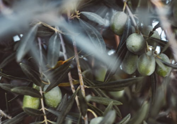 Foto de olivos verdes