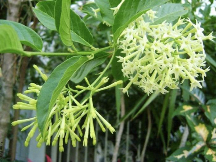 Foto de las flores de dama de noche