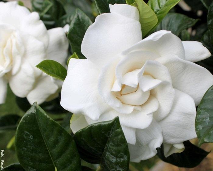 Foto de una flor de gardenia cuidados