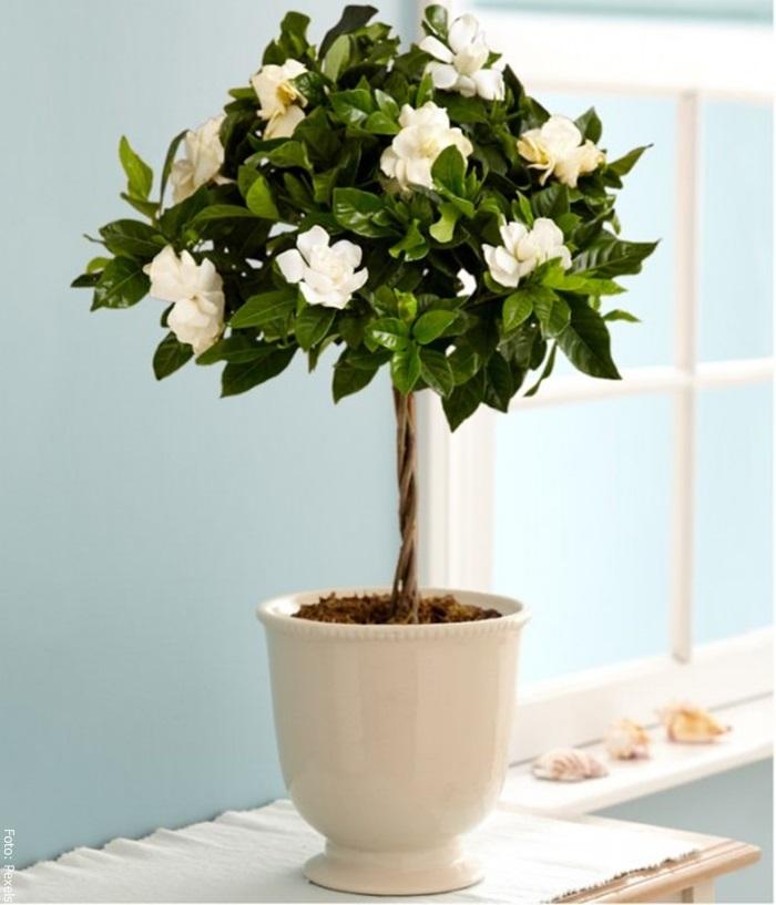 Foto de una planta de gardenia en maceta
