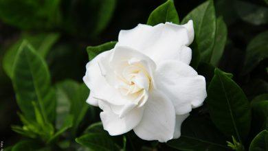 Gardenia: cuidados de una hermosa flor