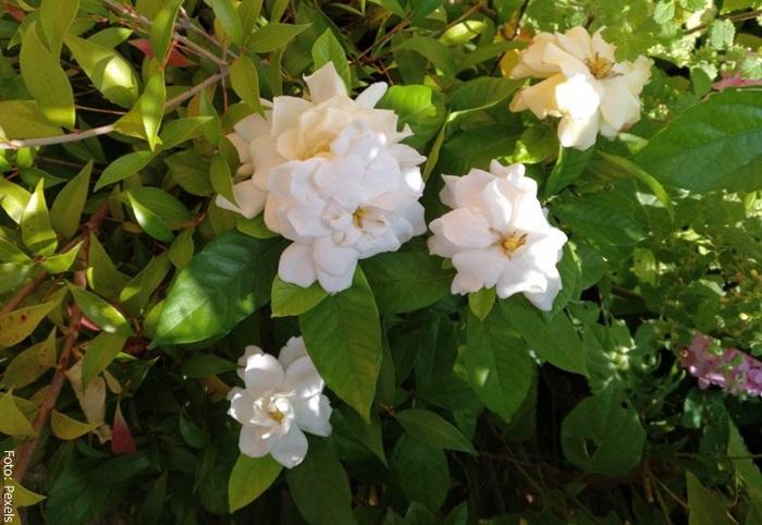 Foto de varias flores blancas gardenias