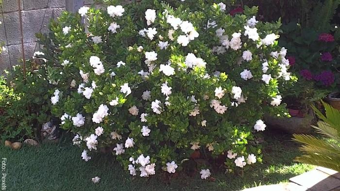 Foto de arbusto de gardenia con muchas flores