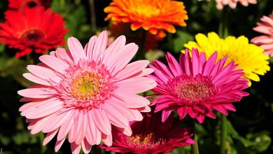 Gerbera: cuidados de la planta de la alegría