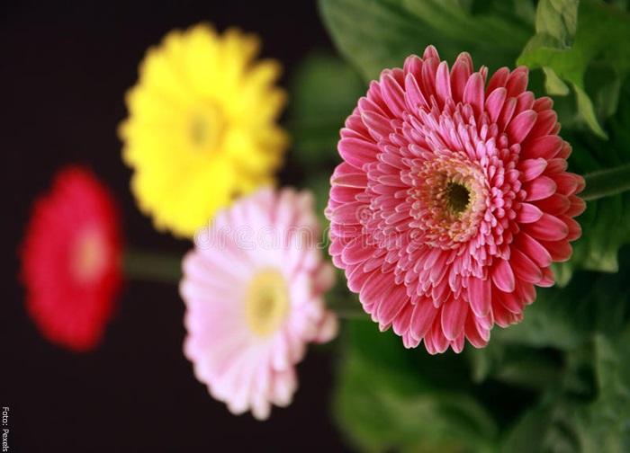 Foto de muchas plantas gerberas