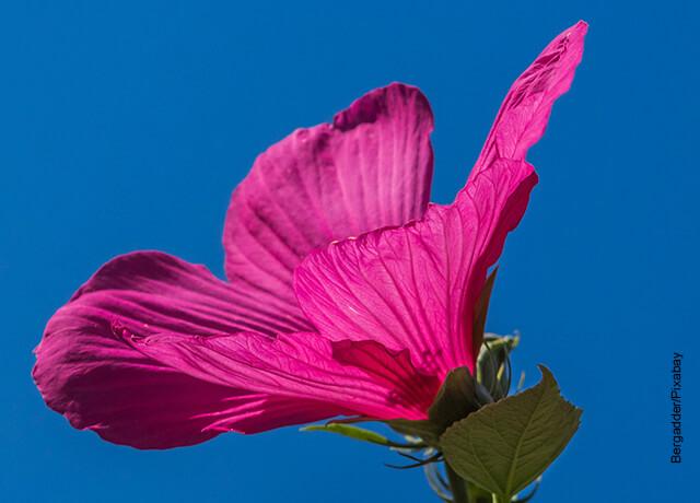 Foto de una especie de rosa de color fucsia que ilustra el hibiscus y sus cuidados