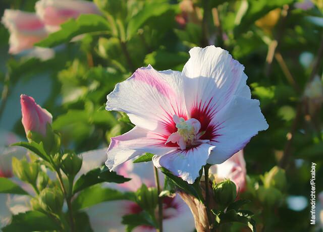 Foto de una flor hibiscus blanca