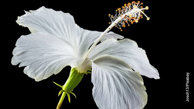 Foto de una flor blanca que muestra el hibiscus y sus cuidados