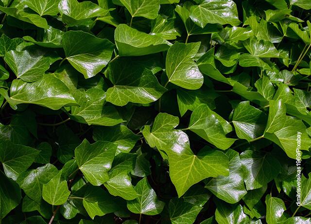 Foto de una planta ivy verde