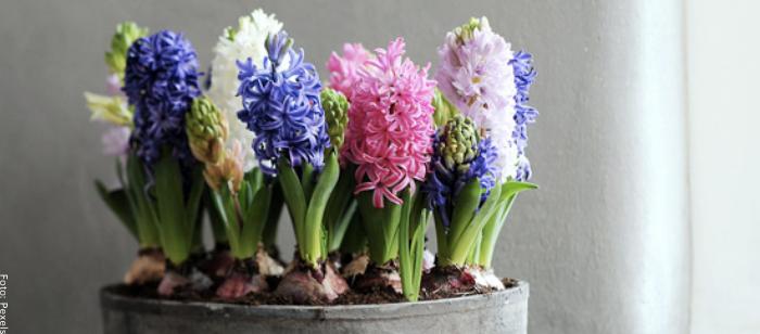 Foto de varios jacintos de colores cuidados