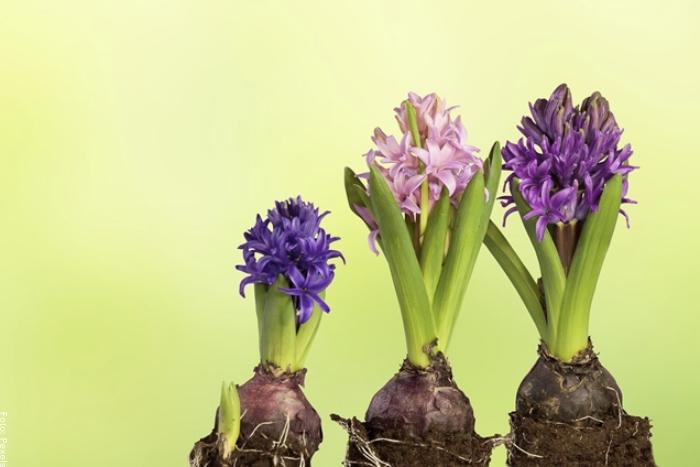 Foto de plantas de jacinto