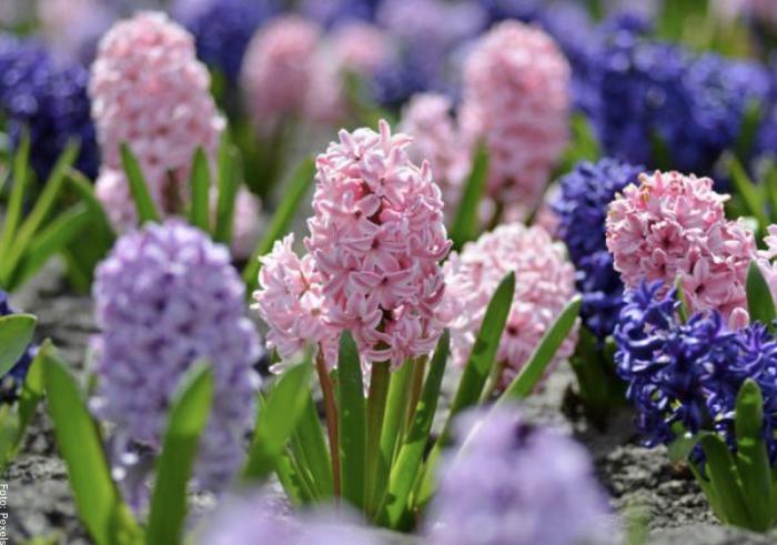 Foto de varios hyacinthus en cultivo
