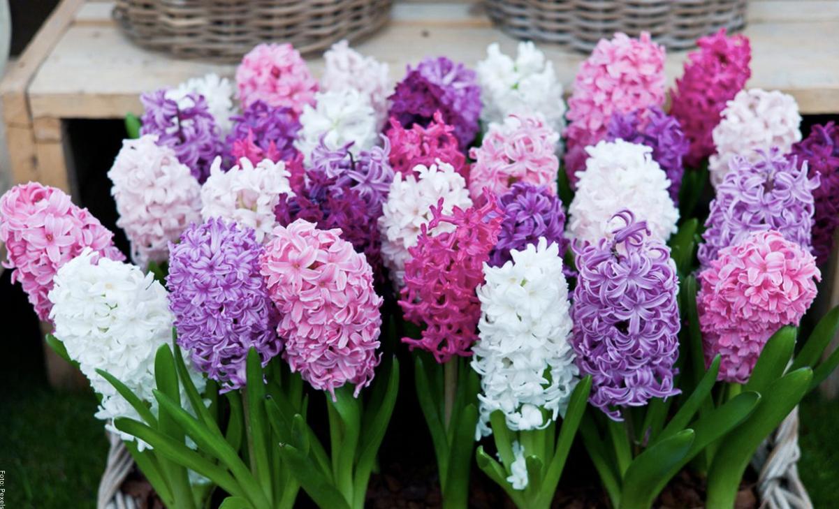 Jacinto: cuidados para su cultivo y floración