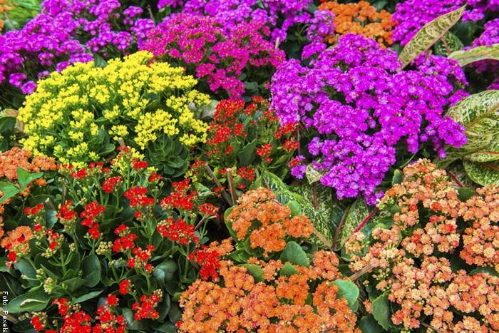 Foto de plantas de kalanchoes de diferentes colores