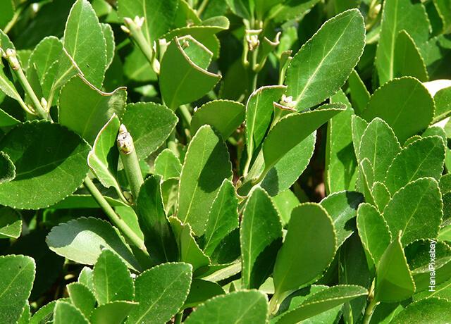 Foto de ramas y hojas que muestran el laurel y sus cuidados