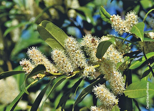 Foto de los frutos de un árbol aromático