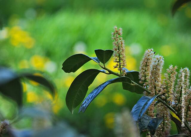 Foto de una rama de un árbol que muestra el laurel y sus cuidados