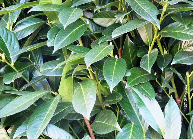 Foto de las hojas de una planta aromática verde