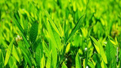 Foto de un sembrado de laurel y sus cuidados en casa
