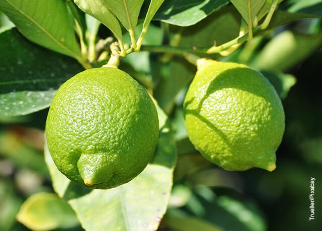 Foto de dos limones verdes que ilustran el limonera en maceta y los cuidados que deben tener