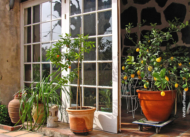 Foto de árbol limonero en una casa