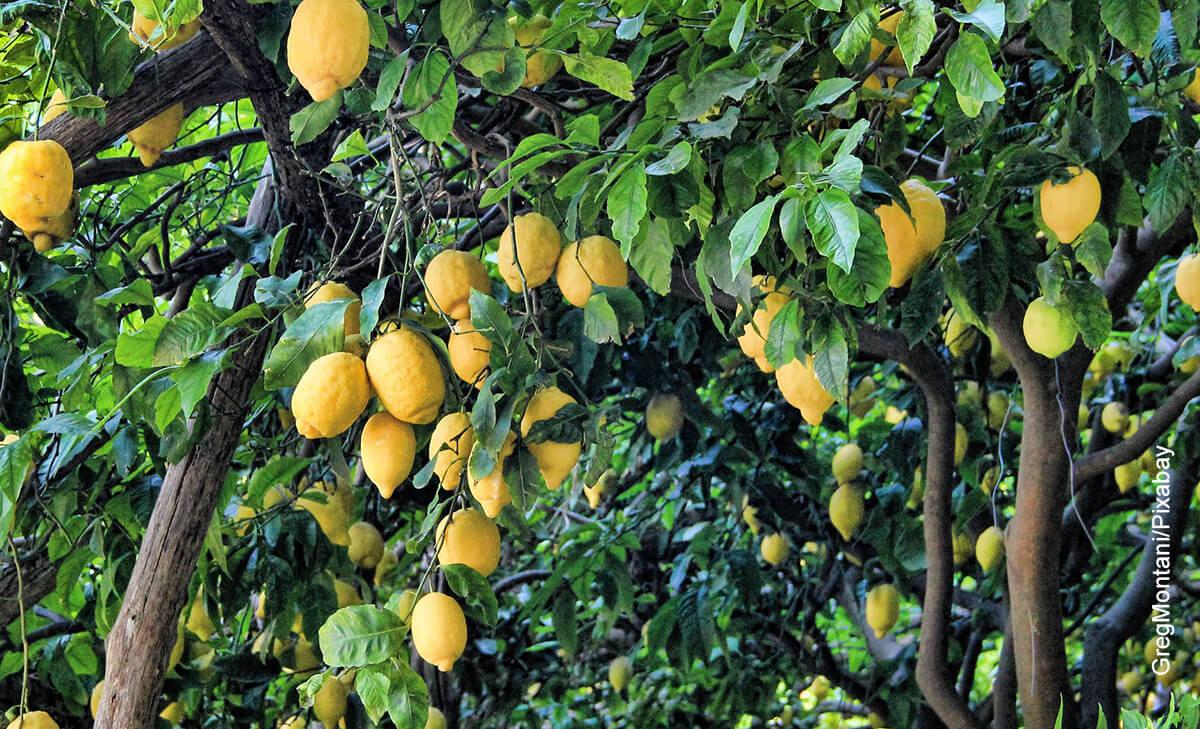 Foto de un árbol frutal que muestra el limonero en maceta y los cuidados que le debes tener