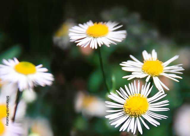 Fotos de flores blancas en el campo que ilustran margaritas cuidados que les debes tener
