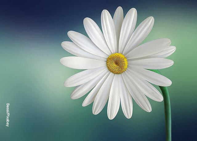 Foto de una flor que muestra las margaritas cuidados que les debes tener
