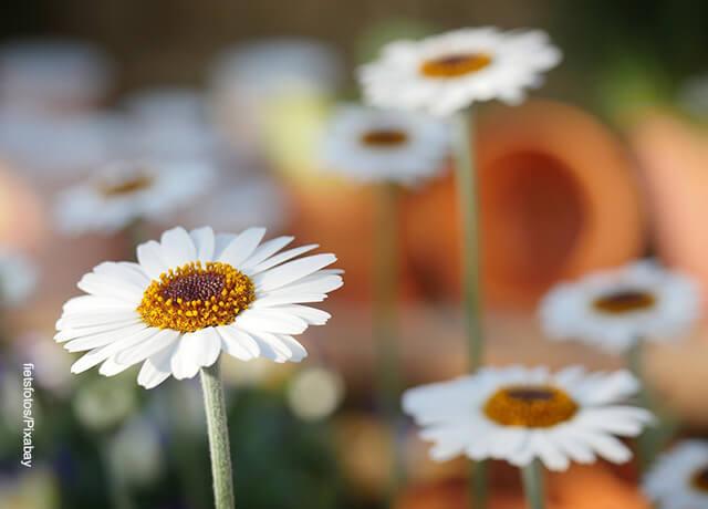 Foto de un campo con flores blancas