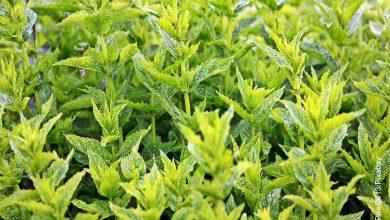 Foto de un sembrado que muestra la menta cuidados que debes tenerle