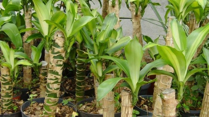 Foto de varias plantas de palo de brasil cuidados